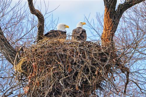 Two bald eagles in nest atop a tree.
